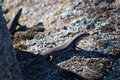 Tree skink a photograph of a crevice on a granite boulder in central western nsw australia skinks live in trees or Royalty Free Stock Photo