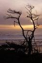 Tree snag silhouette at sunset on an oregon beach near yaquina head newport Stock Photo