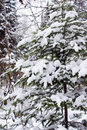 Tree with snow covered in vertical of winter forest Stock Image