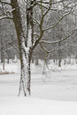 Tree in Snowy Park Scene. Stock Photos
