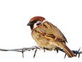 Tree sparrow on barbed wire isolated on white background Royalty Free Stock Photo
