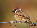 Tree sparrow on barbed wire Royalty Free Stock Photo