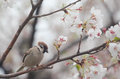 Tree sparrow bird on the cheery blossom tree Royalty Free Stock Photo