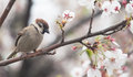 Tree sparrow bird on the cheery blossom tree with spring season ay japan Royalty Free Stock Images