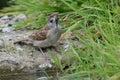 Tree sparrow drinking Royalty Free Stock Photo