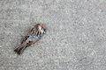 Tree sparrow lying dead on a concrete path Royalty Free Stock Photo
