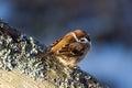Tree Sparrow (Passer montanus) enjoy the sunshine. Stock Photo