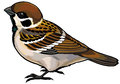 Tree sparrow passer montanus wild european bird side view illustration isolated on white background Stock Photography