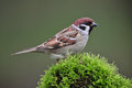 Tree sparrow photo of standing on a moss Stock Photos