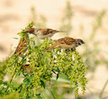 Tree Sparrows Passer montanus Stock Photo