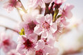 Tree spring blossom photo of flower background Stock Images