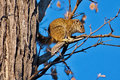 Tree Squirrel Royalty Free Stock Images