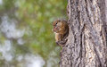 Tree squirrel eating a nut Stock Images