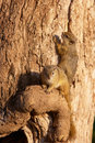 Tree squirrel (Paraxerus cepapi) Royalty Free Stock Photos