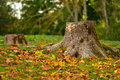 Tree stump autumn nature landscape surrounded by golden colorful leaves in park Stock Photos