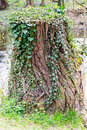 Tree stump covered with ivy