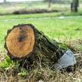 Tree stump leaning to the left with recent saw cut resulting from the trees removal from the park following a severe storm in Royalty Free Stock Photo