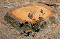 Tree stump with regrowth and sunning lizard image shows an old freshly cut eucalyptus uta sp at lower left center algae can be Royalty Free Stock Photography