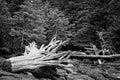 Tree stump washed ashore black & white photo Royalty Free Stock Photo