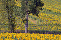 Tree among sunflowers sunflower helianthus annuus field and trees in france in the tarn department midi pyrénées region Stock Images