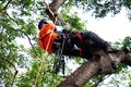 Tree surgeon climbing tall tree on ropes used safety equipment. Royalty Free Stock Photo
