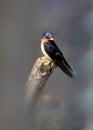 Tree swallow bird Royalty Free Stock Photo