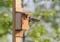 Tree swallow landing on nesting box Royalty Free Stock Photo
