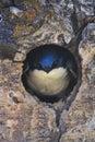 Tree Swallow at Nest Hole Royalty Free Stock Photo