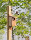 Tree swallow looking out of nesting box and one landing on top. Royalty Free Stock Photo