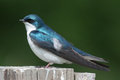 Tree swallow a perched on a post Stock Photos