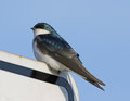 Tree Swallow Perched on Sign Royalty Free Stock Photo