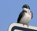 Tree Swallow on a Sign Royalty Free Stock Photo