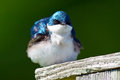 Tree swallow a sitting on a nest box Royalty Free Stock Images