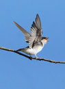Tree Swallow - Tachycineta bicolor Royalty Free Stock Photo