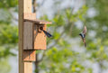 2 Tree swallows flying in and out of nesting box Royalty Free Stock Photo