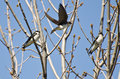 Tree Swallows Landing in a Tree Royalty Free Stock Photo