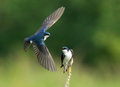 Tree Swallows - Tachycineta bicolor Royalty Free Stock Photo