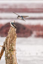 Tree Swallows Royalty Free Stock Photo