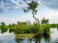 Tree in a swamp lonely that is useless to want to be like bonsai Stock Images