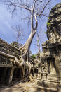 Tree in Ta Phrom, Angkor Wat, Cambodia, Asia. Royalty Free Stock Image
