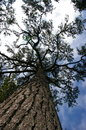 Tree the tall pine in the forest Royalty Free Stock Image
