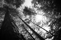 Tree tops an the sun in the forest abstract black and white image of can be used as background Stock Photo