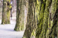 Tree trees evenly row blurry background Royalty Free Stock Photo