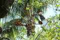 Tree trimmer cleans up palm fronds on a coconut palm tree. Royalty Free Stock Photo