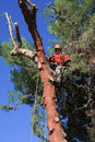 Tree trimmer climbed a pine tree