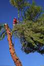 Tree trimmer cutting down pine tree Royalty Free Stock Photo