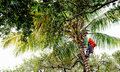 Tree trimmer on palm tree cutter scales a tall to trim fronds and coconuts Stock Image