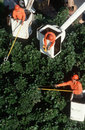 Tree trimmers in cherry pickers Royalty Free Stock Photography