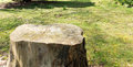 Tree trunk big on the grass field Stock Image