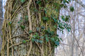 Tree trunk with common ivy twisted on a big photo taken on the island oland in south eastern sweden Stock Photo